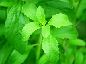Stevia-Pflanze